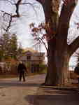 Dave McKay with the Allview Avenue Oak tree, 2009