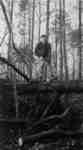 Logging the Thornborrow bush, 1949