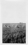 Wheat field with stooks, Saskatchewan, 1923