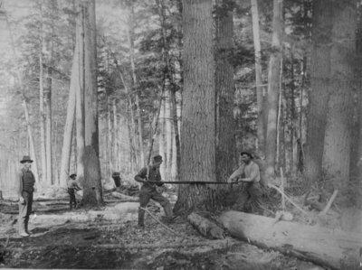 Loggers Felling a Tree
