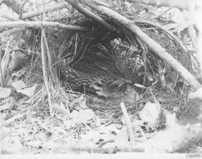 Partridge's Nest