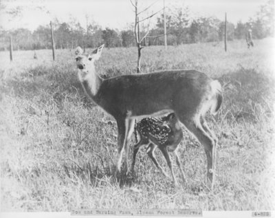 Doe and Nursing Fawn