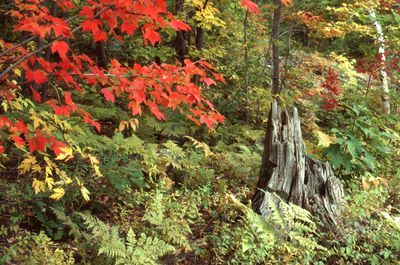 Tree stump with ferns and autumn tree