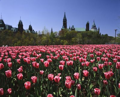 Ontario: Ottawa - tulips cover broad area of Major Hill Park, Parliament Hill in background