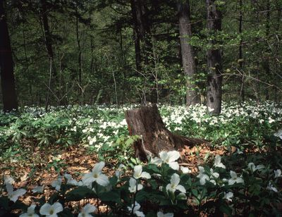 Ontario: Mississauga - trilliums in Sawmill Creek valley