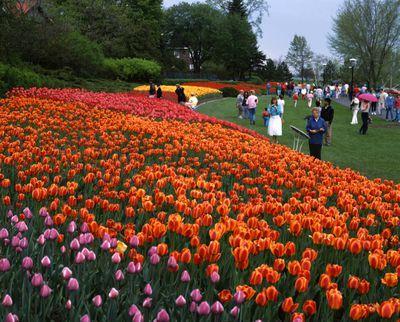 Ontario: Ottawa - annual tulip display along Driveway at Dows Lake