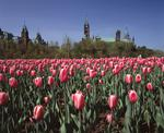 Ontario: Ottawa- expanse of unopened tulips (Aristocrat variety) at Major Hill Park, Parliament Hill in background