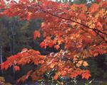 Ontario: Algonquin Park- maple branchs in Autumn colouring