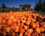 Ontario: Georgetown area- harvested pumpkins in front of modern farmhouse