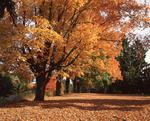 Ontario: Mississauga- sugar maple at height of Fall colouring