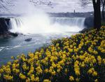 Ontario: Niagara Falls - daffodils are foreground for Canadian Horsehoe Falls with 'Maid of the Mist' passing by