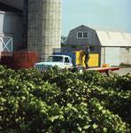 Ontario: Niagara Peninsula - farmer loads grapes for shipment to winery