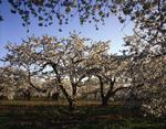 Ontario: Queenston area - Niagara Peninsula orchard with cherry blossoms in full bloom