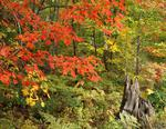 Ontario: Georgian Bay area - fall colouring in the forest alongside Gibson River