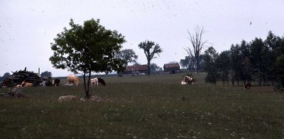 Cows in field, location unknown