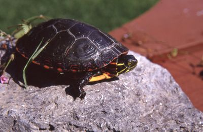 Painted box turtle