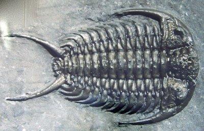 Trilobite fossil, Ceraurus pleurexanthemus