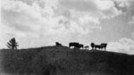 Catlle on the McCullough Farm.