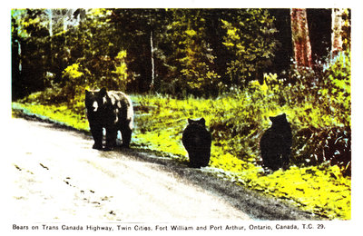 Bears on Trans Canada Highway