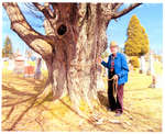 Frank Eagles measures tree at Flesherton Cemetery