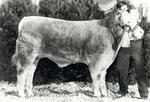 Frank Cowan's charolais calf