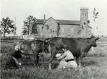Milking Cows in the Field