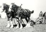 Clydesdale Horses at Plowing Match