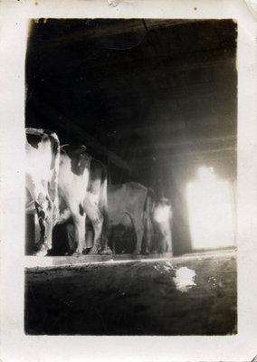 Les vaches de Pierre Primeaux