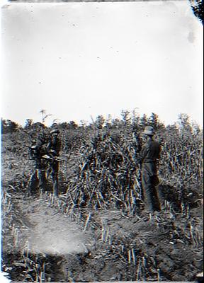 Shucking corn. Quinn Brothers
