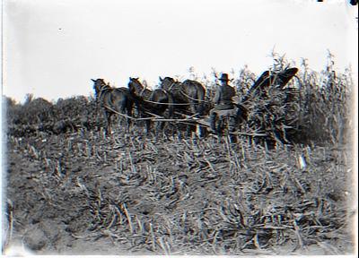 Harvesting Corn. Quinns