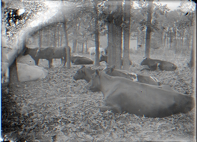 Distorted- cows in woods