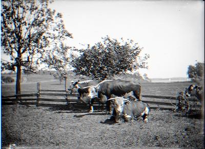 4 cows