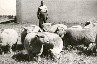 Lionel Orbell, veteran shepherd for Larkin Farms shown with some of 250 Southdowns sheep.