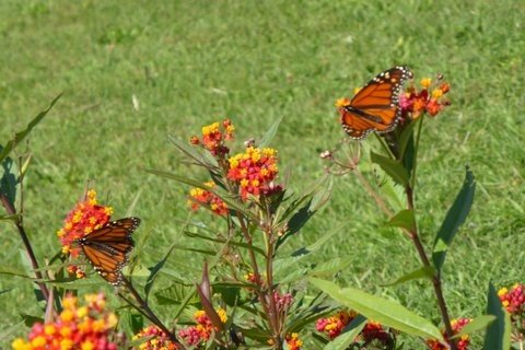 Asclepias (butterfly plants)