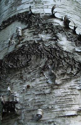 Oakville Birch Tree Bark