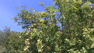 Parking lot apples