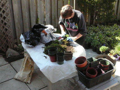 BHS Member Marg Catley preparing plants for the 2007 Plant Sale at Hopedale Mall