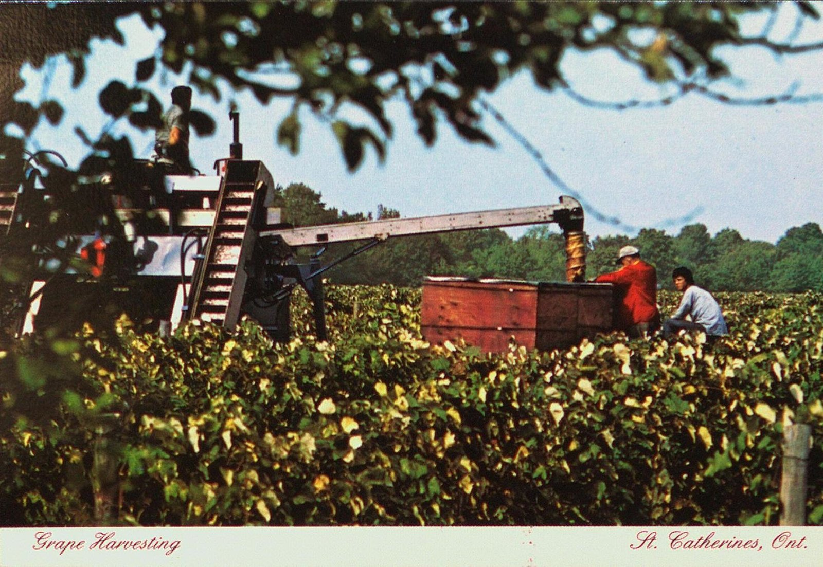 Grape Harvesting in St. Catharines