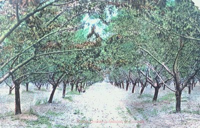 A Peach Orchard, Niagara Peninsula