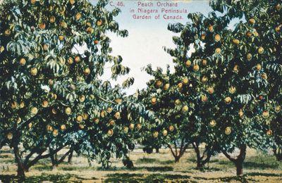 Peach Orchard in the Niagara Peninsula
