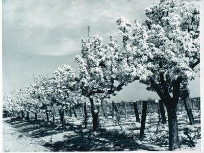 Fruit Trees in Blossom