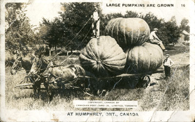 Large Pumpkins are grown at Humphrey, ONT. (trick photograph post card)