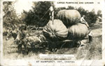 Large Pumpkins are grown at Humphrey, ONT., Canada