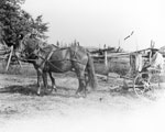 Horse and Mower, South River Area, circa 1900