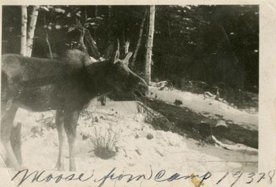 Moose at Camp, 1937 - 1938