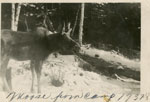 Moose at Camp, 1937 - 1938