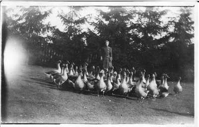 Glenclare Farm Flock of Geese