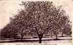 Postcard; Apples In Bloom
