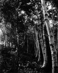 Birches near old (Trouting?) pool, ca.1890's.  Cavendish, P.E.I.