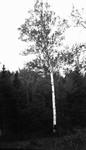 Birch Tree, Cavendish, P.E.I.